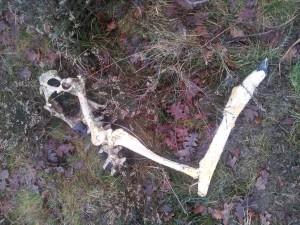 Skelet van een hertje op de bosvloer