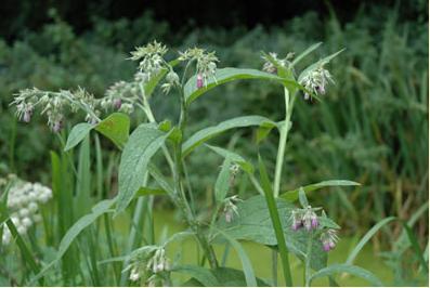 Smeerwortelplant