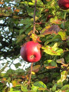 appel-aan-boom
