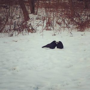 Crows dotting the white snow