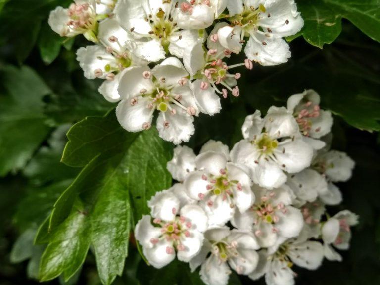 (Hawthorn blossoming - Morgana April 2019)