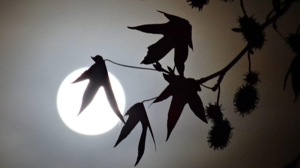 De maan beschijnt bladeren en vruchten van de amberboom